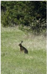 2 Lièvre en «état de stress» c'est-à-dire «sur ses gardes» comme le sont tous les animaux dans le milieu naturel.